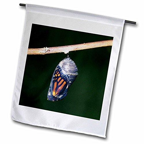 3drose-danita-delimont-butterfly-monarch-danaus-plexippus-pupa-chrysalis-during-emergence-01-12-x-18