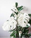 Go Garden 100Pcs White Monstera Bonsai Garden Seeds Beautiful Turtle Leaves Tree Palm