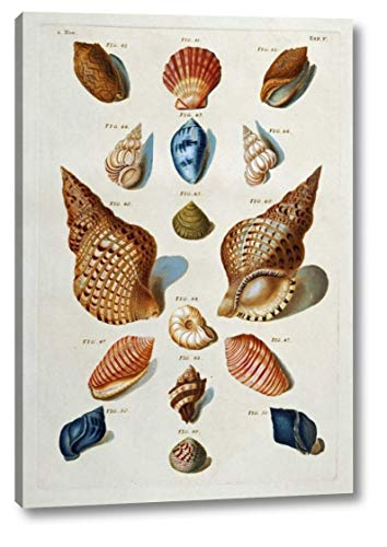 A Selection of Seashells by Franz Michael Regenfuss - 13