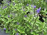 Stachytarpheta Jamaicensis Blue Porterweed Butterfly Attracting