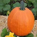 Pumpkin Apollo F1 - Vegetable Seeds - 5,000 Seeds