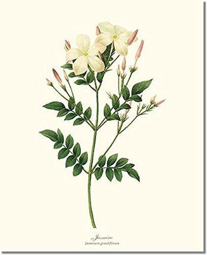 Vintage Botanical Flower Art Print: Jasmine (Redouté)