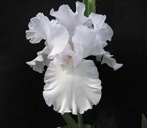 10 Pretty Bearded Iris, Reblooming German Iris, White, Fresh Root, Rhizome, Plant, Easy to Plant
