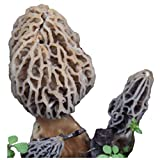 Morel Habitat Kit ® - Backyard Morel Mushroom Growing Kit