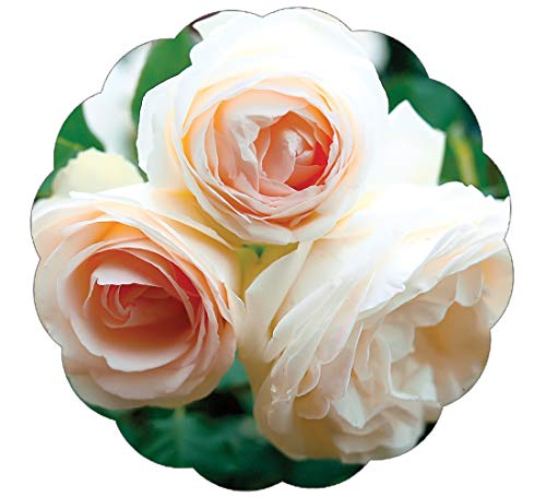 Stargazer Perennials White Eden Climbing Rose Plant Potted Reblooming White Hardy Climber - Easy To Grow Own Root