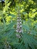 Common Motherwort, Leonurus Cardiaca, Lamiaceae, Medicinal Seeds, GMO Free, Heirloom, 50 Seeds Per Pack