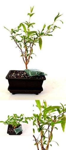 Dwarf Pomegranate Mame Bonsai Water Tray Fertilizer Plant 5'' Inch Vase Indoor