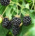Hinterland Trading 30+ Pre-stratified Jumbo Thornless Blackberry Seeds