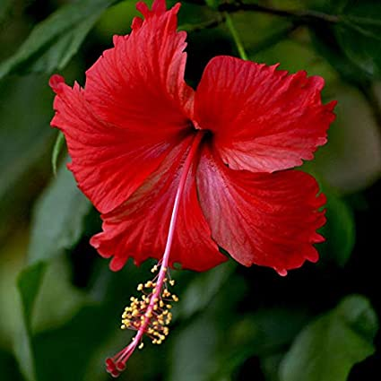 Siam Garden Gudhal Live Plant Hibiscus Flower Hibiscus Rosa