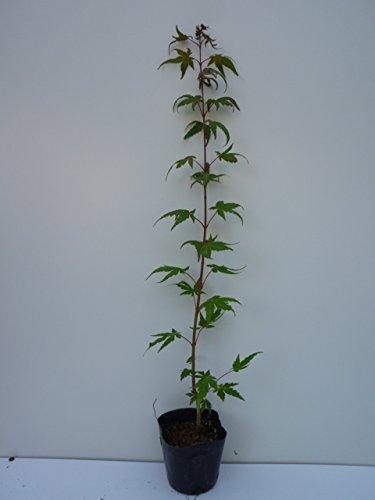 【ノーブランド品】イロハモミジ樹高0.5m前後10.5cmポット【50本セット】 B00W4VW9N4