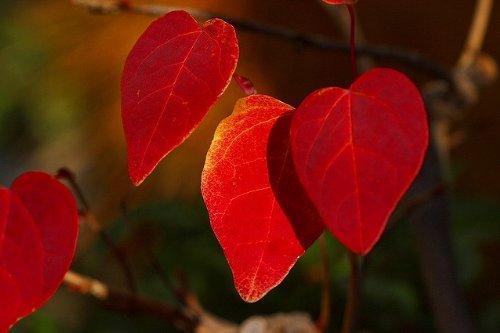 【紅葉樹木】マルバノキ(ベニマンサク)樹高1.5m前後 B00CHDA6FC