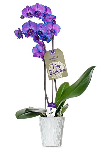 - Orchid Flower Plant, Purple Double Spike in 5-Inch White Ceramic Container, From Hallmark Flowers