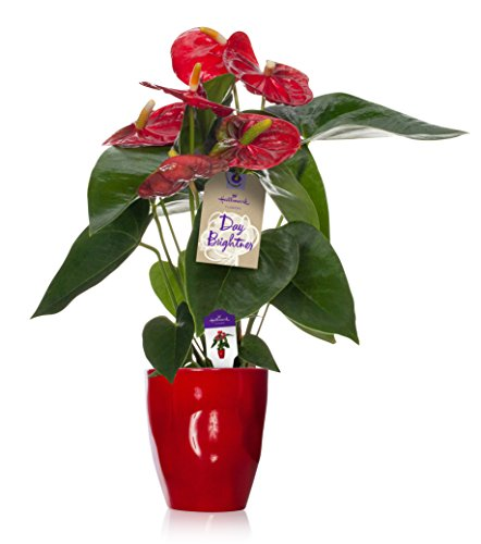 Hallmark Flowers Happy Hearts Red Anthurium in 5-Inch Red Ceramic Container