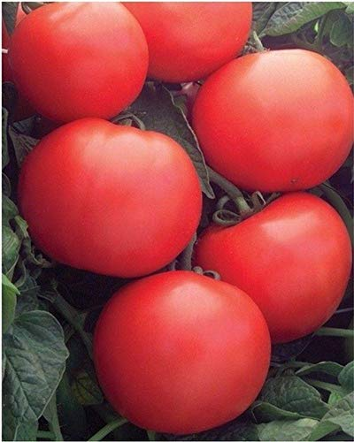 Biltmore F1 Hybrid Tomato Seeds - high yields of 8 to 10 oz red tomatoes. !!!(25 - Seeds) ()