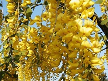 - Golden Chain Tree, Flowering Tree Laburnum Anagyroides Yellow 30 Seeds! Groco