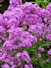 30+ Light Purple Phlox/Fragrant Shade-Loving Perennial Flower Seeds