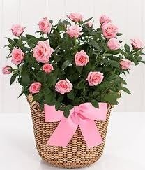 Fresh rose plant delivered in a deluxe basket - UK Mainland only