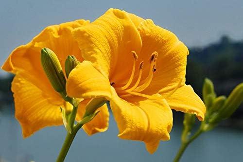 黄色のアマリリスのクローズアップ壁紙-花の壁紙-#48018 - キャンバス ステッカー 印刷 壁紙ポスター はがせるシール式 写真 特大 絵画 壁飾り 90cmx60cm
