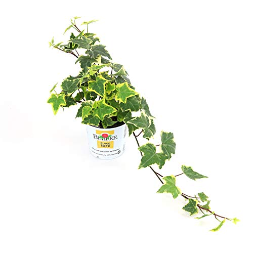 Burpee Ivy Hedera Variegated Gold | Bright Indirect Light | Live Easy Care Houseplant, 1 Plant ()