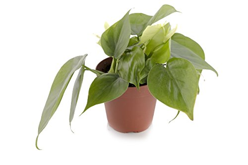 Set of 4 Indoor Plants - Live Potted Plants for Your Home or Office - Includes Red Aglaonema, Snake Plant, Philodendron, and Peace Lily - Great for Interior Decorating and Cleaning the Air by BDWS (Image #1)'