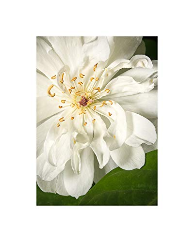 A O Tucker Artwork - Botanical - 8 x 10 - White Lady Banks Rose - Fine Art Photograph - Unmatted Print - Ready to Mat/Frame Nursery, Home & Office Decor