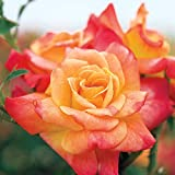Spring Hill Nurseries - Joseph's Coat Climbing Rose Super Pack! 5 Bareroot Rose Plants with Yellow/Orange/Pink Colored Flowers (5-Pack)