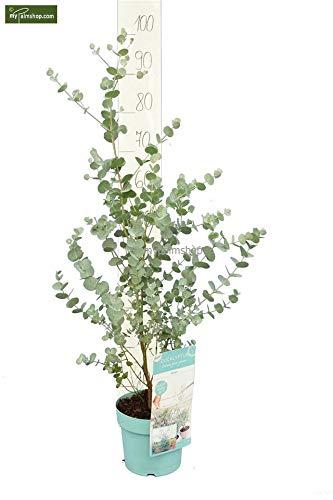 Ultrey Samenshop Aromatisch Blauer Eukalyptus Azura Baumsamen echter Eukalyptus Garten Pflanzensamen winterhart mehrj/ährig