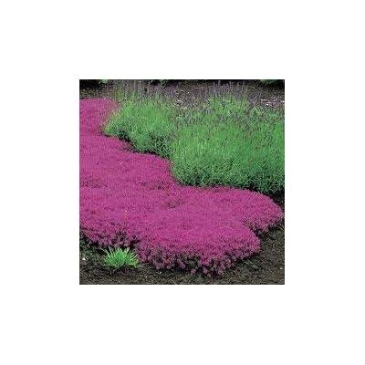 Creeping Thyme Thymus Serpyllum Magic Carpet Rose Walk on Me Plant, 25 Seeds : Garden & Outdoor