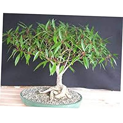 KLY 1 Bareroot Bonsai Globe Willow Tree Indoor Outdoor Bonsai - LY510: Garden & Outdoor