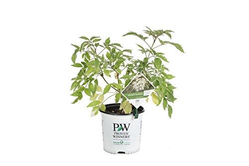 (Instant Karma Elderberry (Sambucus) Live Shrub, White Flowers and Variegated Foliage, 1 Gallon)