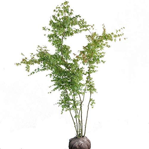 イロハモミジ 株立ち 樹高1.5~1.8m前後 (根鉢含まず) B07NYP4DJR