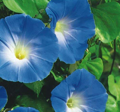 SeeKay Ipomoea Tricolor - Morning Glory - Heavenly Blue - 4500 Seeds - Bulk