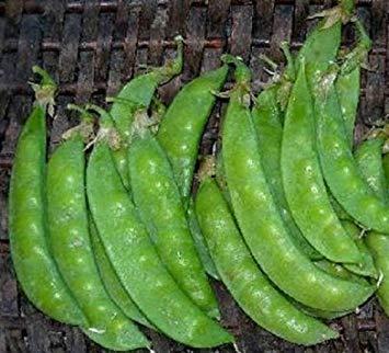 - ANVIN Germination Seeds:50 Seeds of Snow Pea Sugar Grey Seeds Garden Seeds