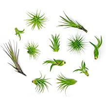 12 Air Plant Variety Pack - Small Tillandsia Terrarium Kit - Assorted Species Live Tillandsia Tropical House Plants Sale, 2 to 5 Inches Each - Air Plants Indoor Home Decor