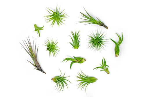 12 Air Plant Variety Pack - Small Tillandsia Terrarium Kit - Assorted Species of Live Tillandsia Tropical House Plants for Sale, 2 to 5 Inches Each - Air Plants for Indoor Home Decor (For Garden Sale Flowers Glass)