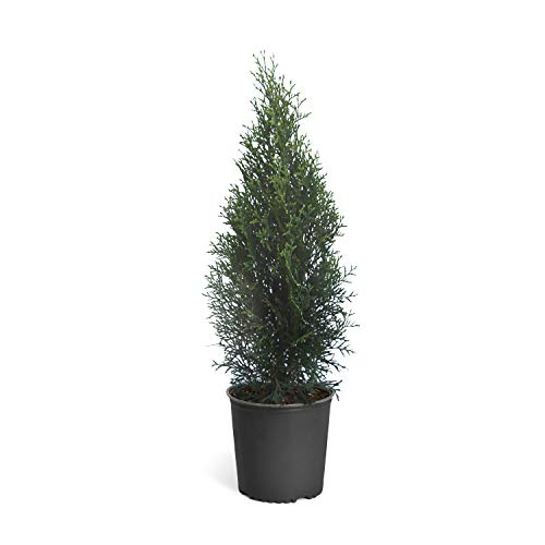 Emerald Green Arborvitae Evergreen Trees- Perfect for Privacy- Large, Developed Trees with Advanced Root Systems - 1-2 ft. | No Shipping to AZ
