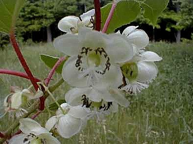 2 Hardy Kiwi Plants - Actinidia - Anna and Meader - 2.5'' Pot