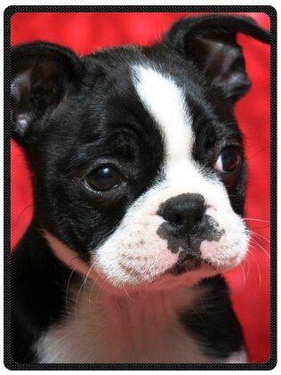 Purebred Cute Boston Terrier Plush Throw Blanket Travel Blanket 58