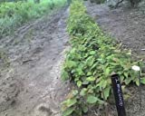 """4 American Hornbeam (Carpinus caroliniana) 6-12"""" seedlings"""