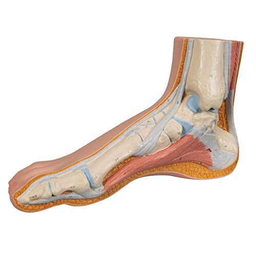 3B Scientific M30 Normal Foot Joint Model, 5.1