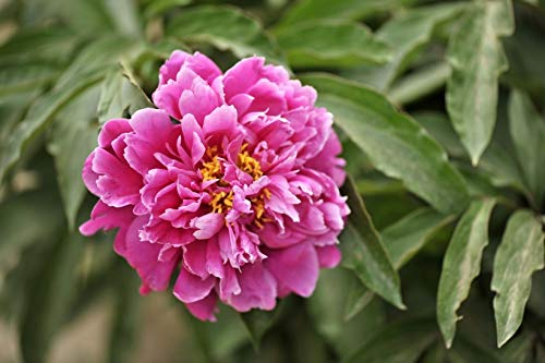 peony roots bright pink buyer's guide