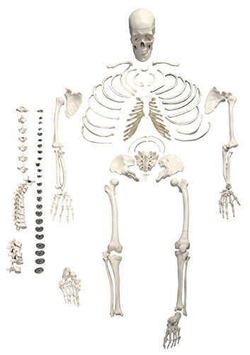 - Walter Products B10220 Disarticulated Skeleton Model, Full Size