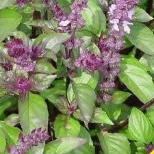 Cinnamon Basil 500 seeds * Grow your own herb * EZ grow * CombSH E33