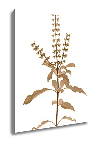 Ashley Canvas Holy Basil Or Tulsi Isolated With Clipping Path, Wall Art Home Decor, Ready to Hang, Sepia, 20x16, AG5678986 by Ashley Canvas