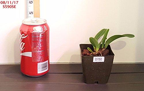 Orchid BIN RM1312 Pot Gold Chiffon 'Summer Gold' x Pot Be...