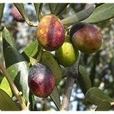 Vivai Gardenhome - Olivo Taggiasca