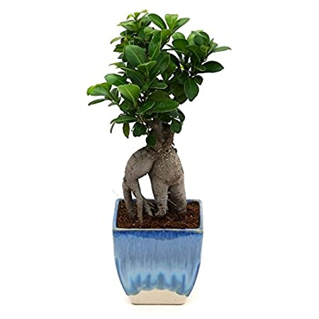 Exotic Green Exclusive Ficus 3 Year Old Bonsai Plant White & Blue Pot Indoor Bonsai Plants at amazon