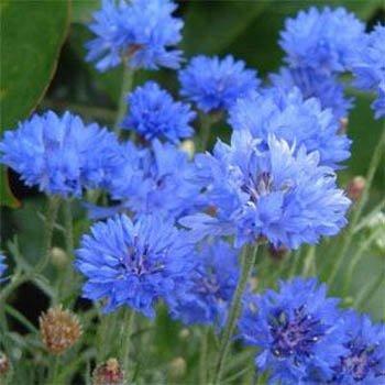 Outsidepride Cornflower Wildflower Seed - 1 - Seed 1 Wildflower Lb