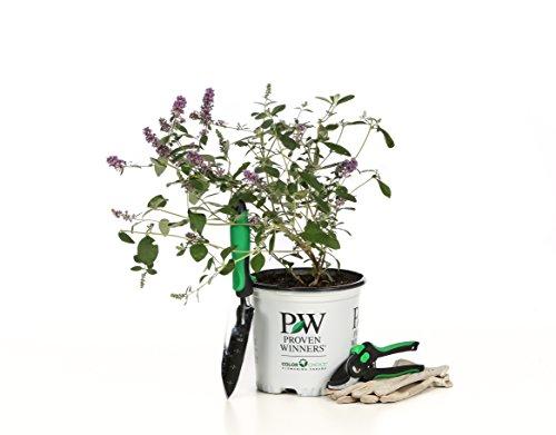 1 Gal. Lo & Behold 'Blue Chip Jr.' Butterfly Bush (Buddleia) Live Shrub, Blue-Purple Flowers by Proven Winners (Image #7)