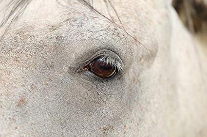 Amazon com: Photography Poster - Arabian Horse, Eye, Head